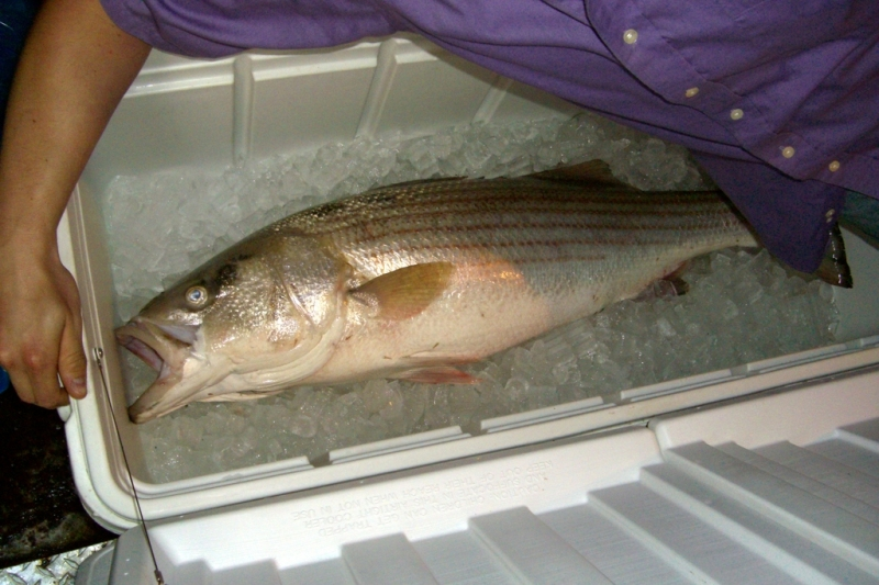 Beautiful wild striped bass