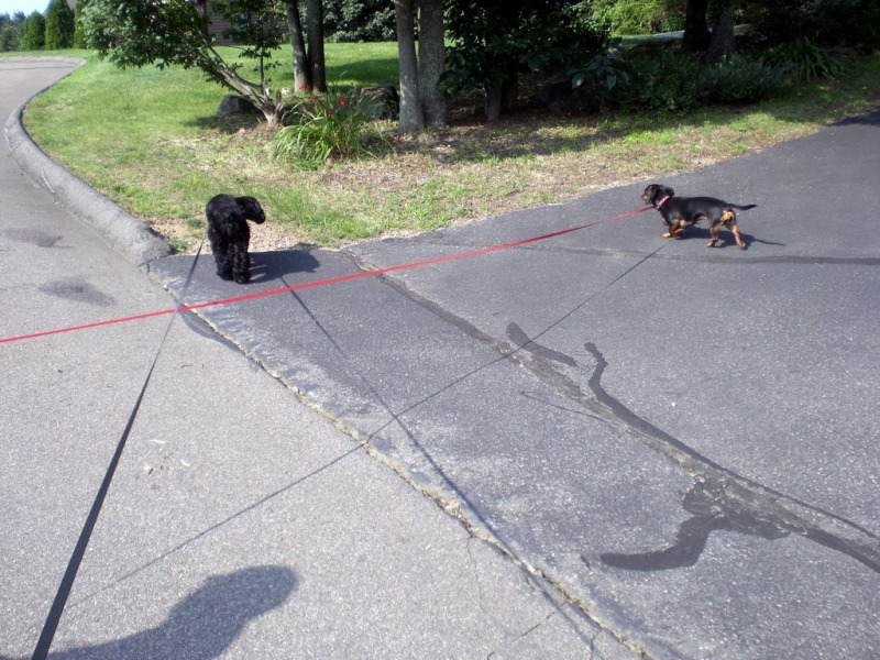 Small dogs on their leashes