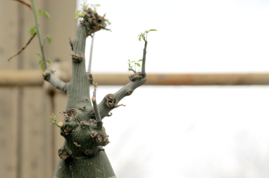 Small growth 3rdarm