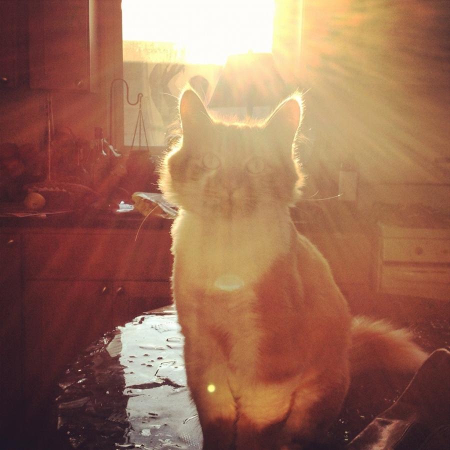 roly poly 3rdarm sun cat orange Maine coon