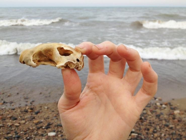 rabbit skull Illinois beach state park 3rdarm
