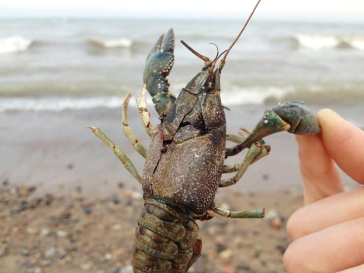 illinois beach state park 3rdarm lake michigan crayfish