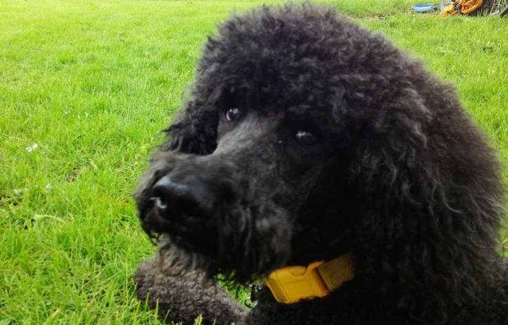 henry the poodle 3rdarm brie chicago