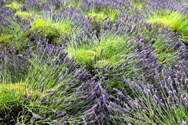 sequim washington 3rdarm lavender