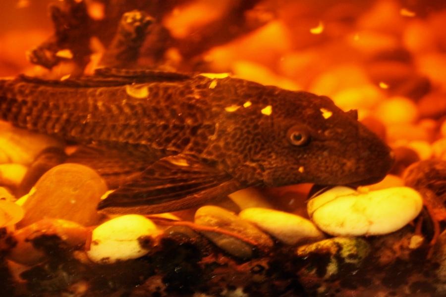 brandys sucker fish chicago 3rdarm