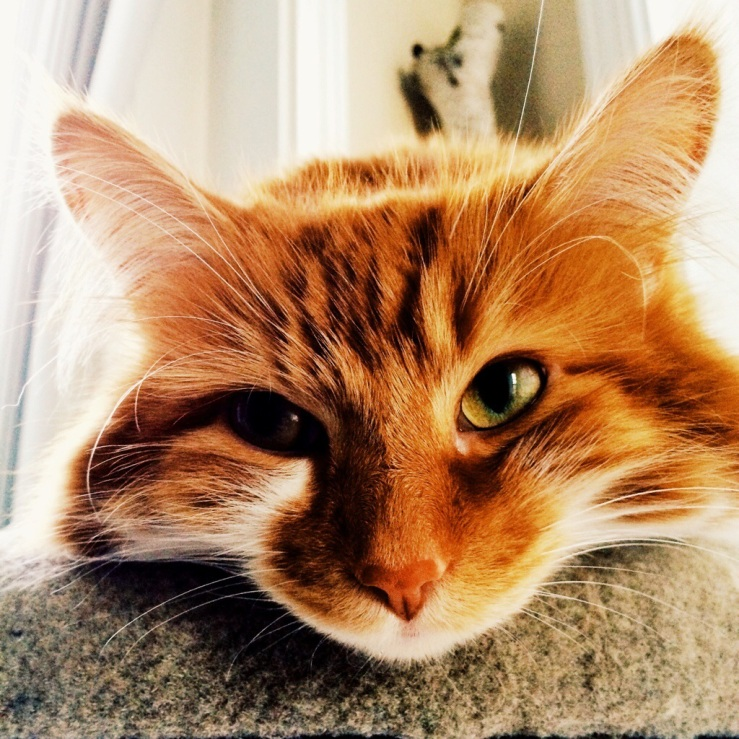 roly poly cat arthur 3rdarm mullen maine coon orange