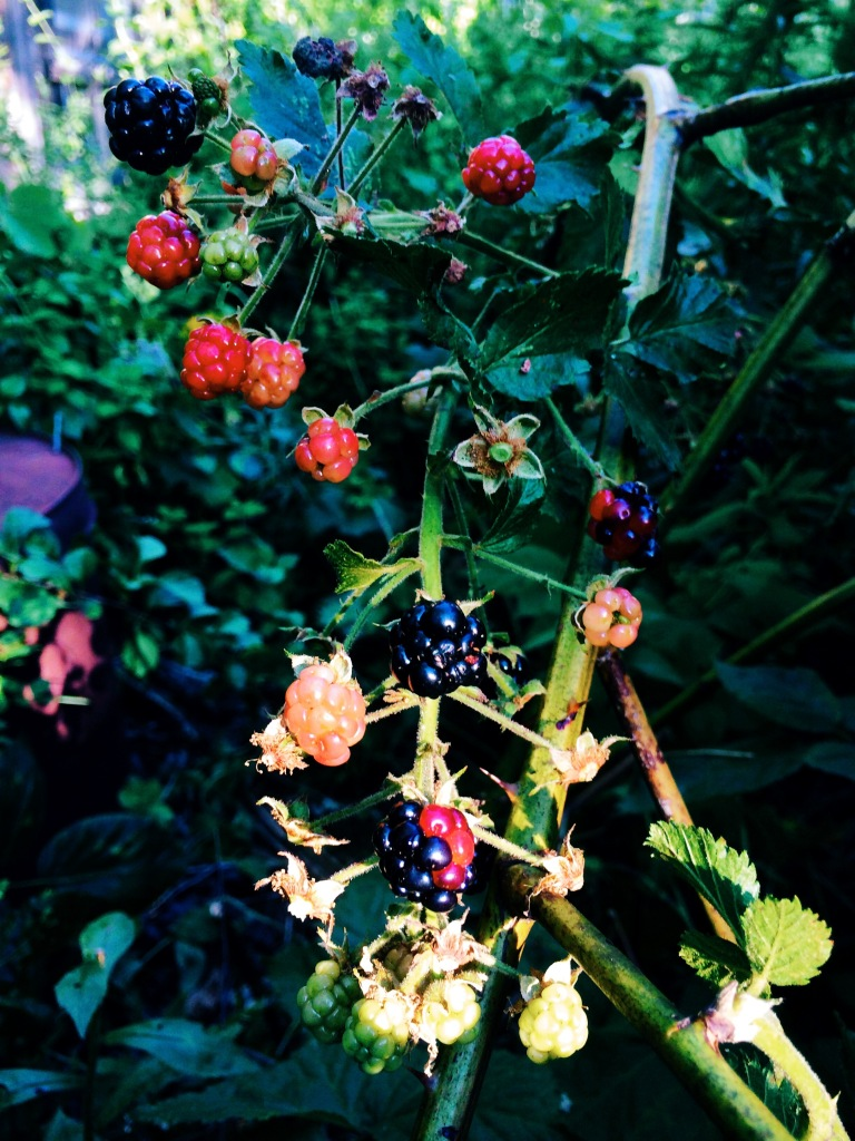 blueberries blackberries raspberries winchendon massachusetts august