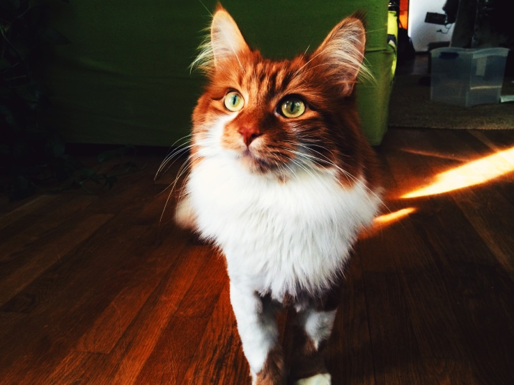 roly poly maine coon cat chicago 3rdarm arthur mullen xoco