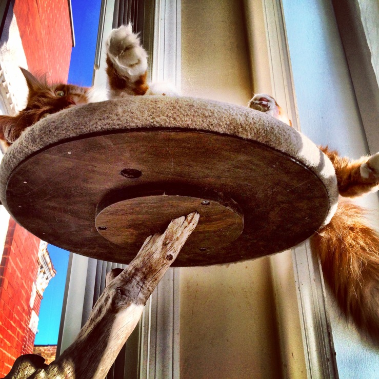 roly poly cat 3rdarm maine coon cat chicago arthur mullen