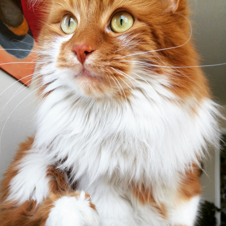 roly poly cat 3rdarm arthur mullen chicago maine coon cat
