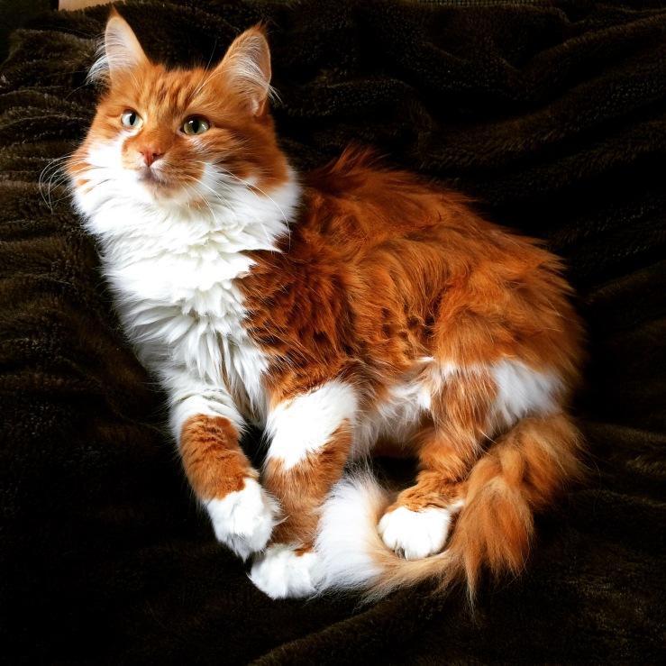roly poly cat arthur mullen 3rdarm maine coon
