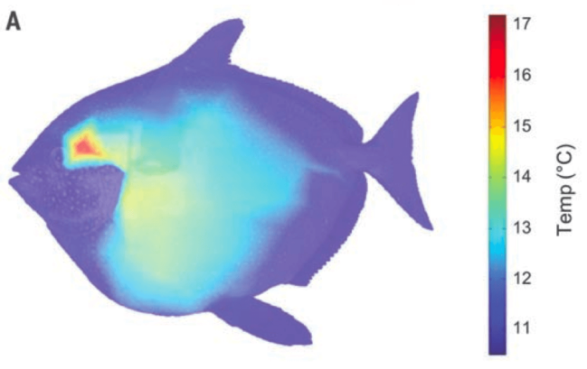 opah-thermal-image